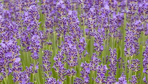 Small Garden Ideas Lavender